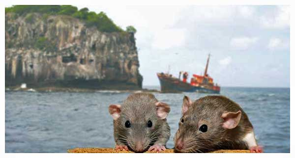 Rats linger aboard sinking ships